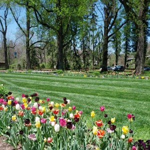 Tulips at Biltmore Estate, Asheville's primary tourist attraction.